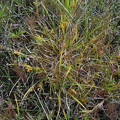 Plant form: Carex aurea. ~ By Donald Cameron. ~ Copyright © 2021 Donald Cameron. ~ No permission needed for non-commercial uses, with proper credit