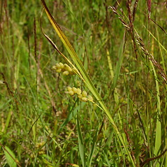 Leaves: Carex aurea. ~ By Glen Mittelhauser. ~ Copyright © 2021 Glen Mittelhauser. ~ www.mainenaturalhistory.org