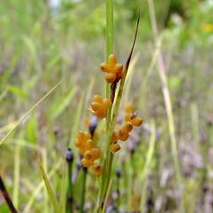 Perigynia: Carex aurea. ~ By Arthur Haines. ~ Copyright © 2020. ~ arthurhaines[at]wildblue.net