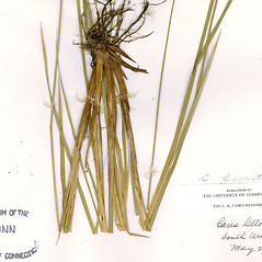 Leaves: Carex barrattii. ~ By CONN Herbarium. ~ Copyright © 2021 CONN Herbarium. ~ Requests for image use not currently accepted by copyright holder ~ U. of Connecticut Herbarium - bgbaseserver.eeb.uconn.edu/