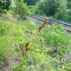 Inflorescence: Carex bicknellii. ~ By Arthur Haines. ~ Copyright © 2020. ~ arthurhaines[at]wildblue.net