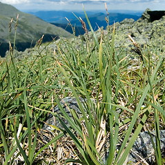 Plant form: Carex bigelowii. ~ By Ben Kimball. ~ Copyright © 2021 Ben Kimball. ~ alpinefin[at]comcast.net