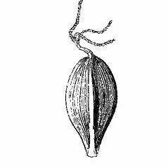 Achenes: Carex blanda. ~ By Harry Creutzburg. ~ Copyright © 2019 The New York Botanical Garden. ~ http://www.copyright.com ~ Kenneth K. Mackenzie. North American Cariceae, Vols. 1 & 2. Copyright 1940 The New York Botanical Garden
