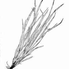 Plant form: Carex blanda. ~ By Harry Creutzburg. ~ Copyright © 2020 The New York Botanical Garden. ~ http://www.copyright.com ~ Kenneth K. Mackenzie. North American Cariceae, Vols. 1 & 2. Copyright 1940 The New York Botanical Garden