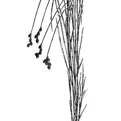Plant form: Carex brevior. ~ By Charles Feddema. ~  Public Domain. ~  ~ Hermann, Frederick J. 1970. Manual of the Carices of the Rocky Mountains and Colorado Basin, US Forest Service, USDA, Agriculture Handbook No. 374, 397pp., US Government Printing Office, Washington, DC 20402