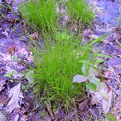 Plant form: Carex bromoides. ~ By Arthur Haines. ~ Copyright © 2021. ~ arthurhaines[at]wildblue.net