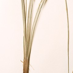 Leaves: Carex brunnea. ~ By Harvard University Herbaria. ~ Copyright © 2021 Harvard University Herbaria. ~ Requests for image use not currently accepted by copyright holder ~ Harvard U. Herbaria