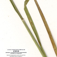 Leaves: Carex bushii. ~ By CONN Herbarium. ~ Copyright © 2019 CONN Herbarium. ~ Requests for image use not currently accepted by copyright holder ~ U. of Connecticut Herbarium - bgbaseserver.eeb.uconn.edu/