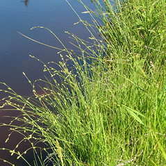 Plant form: Carex canescens. ~ By Marilee Lovit. ~ Copyright © 2020 Marilee Lovit. ~ lovitm[at]gmail.com