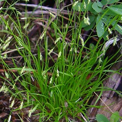 Leaves: Carex capillaris. ~ By Donald Cameron. ~ Copyright © 2020 Donald Cameron. ~ No permission needed for non-commercial uses, with proper credit