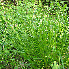 Plant form: Carex cephalophora. ~ By Chicago Botanic Garden . ~ Copyright © 2020 CC BY-NC-SA 3.0. ~ None required ~ Morphbank - Biological Imaging - www.morphbank.net