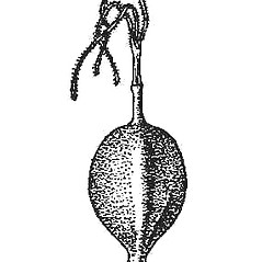 Achenes: Carex conoidea. ~ By Harry Creutzburg. ~ Copyright © 2021 The New York Botanical Garden. ~ http://www.copyright.com ~ Kenneth K. Mackenzie. North American Cariceae, Vols. 1 & 2. Copyright 1940 The New York Botanical Garden