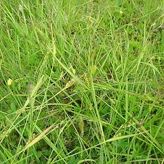 Plant form: Carex conoidea. ~ By Glen Mittelhauser. ~ Copyright © 2021 Glen Mittelhauser. ~ www.mainenaturalhistory.org