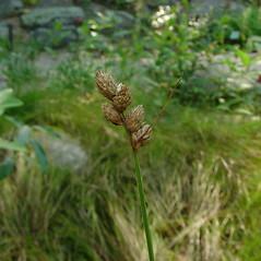 Inflorescence: Carex cumulata. ~ By Glen Mittelhauser. ~ Copyright © 2019 Glen Mittelhauser. ~ www.mainenaturalhistory.org