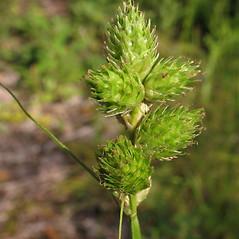 Inflorescence: Carex cumulata. ~ By Marilee Lovit. ~ Copyright © 2019 Marilee Lovit. ~ lovitm[at]gmail.com