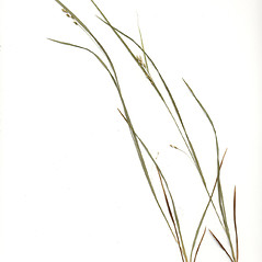 Plant form: Carex digitalis. ~ By Arthur Haines. ~ Copyright © 2021. ~ arthurhaines[at]wildblue.net