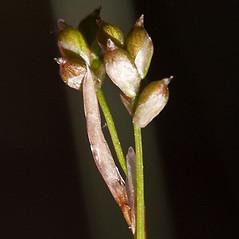 Perigynia: Carex eburnea. ~ By John Gwaltney. ~ Copyright © 2021 John Gwaltney. ~ southeasternflora.com ~ Southeastern Flora - www.southeasternflora.com/