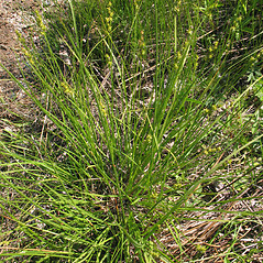 Plant form: Carex echinata. ~ By Marilee Lovit. ~ Copyright © 2020 Marilee Lovit. ~ lovitm[at]gmail.com