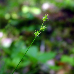 Inflorescence: Carex echinata. ~ By Arthur Haines. ~ Copyright © 2020. ~ arthurhaines[at]wildblue.net