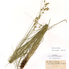 Plant form: Carex echinodes. ~ By CONN Herbarium. ~ Copyright © 2020 CONN Herbarium. ~ Requests for image use not currently accepted by copyright holder ~ U. of Connecticut Herbarium - bgbaseserver.eeb.uconn.edu/