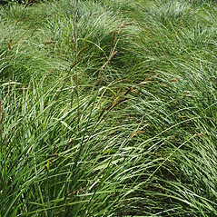 Plant form: Carex emoryi. ~ By Donald Cameron. ~ Copyright © 2020 Donald Cameron. ~ No permission needed for non-commercial uses, with proper credit