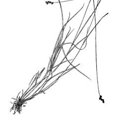 Plant form: Carex festucacea. ~ By Harry Creutzburg. ~ Copyright © 2020 The New York Botanical Garden. ~ http://www.copyright.com ~ Kenneth K. Mackenzie. North American Cariceae, Vols. 1 & 2. Copyright 1940 The New York Botanical Garden