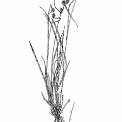 Plant form: Carex flava. ~ By Harry Creutzburg. ~ Copyright © 2020 The New York Botanical Garden. ~ http://www.copyright.com ~ Kenneth K. Mackenzie. North American Cariceae, Vols. 1 & 2. Copyright 1940 The New York Botanical Garden