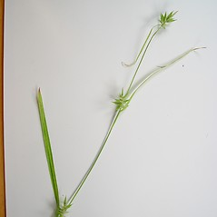 Inflorescence: Carex folliculata. ~ By Donald Cameron. ~ Copyright © 2021 Donald Cameron. ~ No permission needed for non-commercial uses, with proper credit