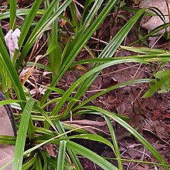 Leaves: Carex folliculata. ~ By Donald Cameron. ~ Copyright © 2021 Donald Cameron. ~ No permission needed for non-commercial uses, with proper credit