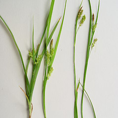Comparison: Carex garberi. ~ By Donald Cameron. ~ Copyright © 2020 Donald Cameron. ~ No permission needed for non-commercial uses, with proper credit