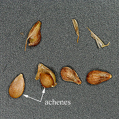Achenes: Carex gracilescens. ~ By Chicago Botanic Garden . ~ Copyright © 2021 CC BY-NC-SA 3.0. ~ None required ~ Morphbank - Biological Imaging - www.morphbank.net