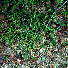Plant form: Carex gracilescens. ~ By Charles Bryson. ~ Copyright © 2021 CC BY-NC 3.0. ~  ~ Bugwood - www.bugwood.org/