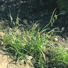 Plant form: Carex gynandra. ~ By Marilee Lovit. ~ Copyright © 2020 Marilee Lovit. ~ lovitm[at]gmail.com