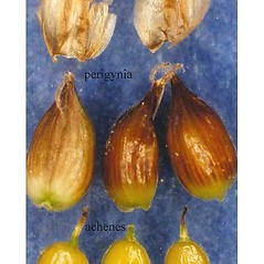 Achenes: Carex gynocrates. ~ By USDA-NRCS PLANTS Database. ~  Public Domain. ~ None needed ~ USDA-NRCS Plants Database - plants.usda.gov/java/