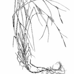 Plant form: Carex hirta. ~ By Southern Illinois University Press. ~ Copyright © 2021 Southern Illinois University Press. ~ Requests for image use not currently accepted by copyright holder ~ Southern Illinois U. Press