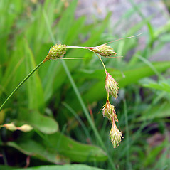 Inflorescence: Carex hormathodes. ~ By Arthur Haines. ~ Copyright © 2021. ~ arthurhaines[at]wildblue.net