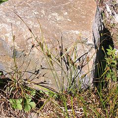 Inflorescence: Carex houghtoniana. ~ By Marilee Lovit. ~ Copyright © 2021 Marilee Lovit. ~ lovitm[at]gmail.com