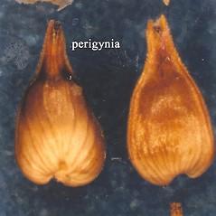 Achenes: Carex interior. ~ By USDA-NRCS PLANTS Database. ~  Public Domain. ~ None needed ~ USDA-NRCS Plants Database - plants.usda.gov/java/