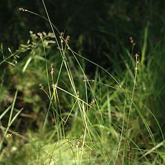 Plant form: Carex interior. ~ By Ben Legler. ~ Copyright © 2021 Ben Legler. ~ mountainmarmot[at]hotmail.com ~ U. of Washington - WTU - Herbarium - biology.burke.washington.edu/herbarium/imagecollection.php
