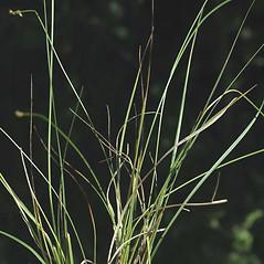 Leaves: Carex interior. ~ By Ben Legler. ~ Copyright © 2021 Ben Legler. ~ mountainmarmot[at]hotmail.com ~ U. of Washington - WTU - Herbarium - biology.burke.washington.edu/herbarium/imagecollection.php