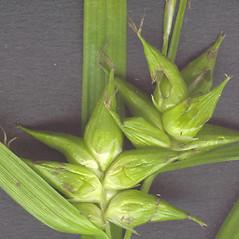 Perigynia: Carex intumescens. ~ By Glen Mittelhauser. ~ Copyright © 2021 Glen Mittelhauser. ~ www.mainenaturalhistory.org