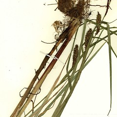 Plant form: Carex lacustris. ~ By CONN Herbarium. ~ Copyright © 2020 CONN Herbarium. ~ Requests for image use not currently accepted by copyright holder ~ U. of Connecticut Herbarium - bgbaseserver.eeb.uconn.edu/