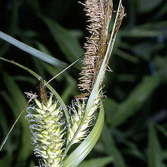 Inflorescence: Carex lacustris. ~ By Robert H. Mohlenbrock. ~  Public Domain. ~  ~ USDA-NRCS Plants Database - plants.usda.gov/java/