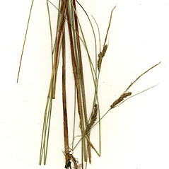 Plant form: Carex lasiocarpa. ~ By CONN Herbarium. ~ Copyright © 2021 CONN Herbarium. ~ Requests for image use not currently accepted by copyright holder ~ U. of Connecticut Herbarium - bgbaseserver.eeb.uconn.edu/