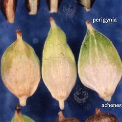 Achenes: Carex lenticularis. ~ By USDA-NRCS PLANTS Database. ~  Public Domain. ~ None needed ~ USDA-NRCS Plants Database - plants.usda.gov/java/