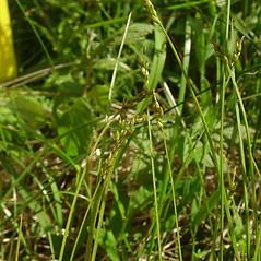Inflorescence: Carex leptalea. ~ By Glen Mittelhauser. ~ Copyright © 2021 Glen Mittelhauser. ~ www.mainenaturalhistory.org