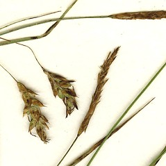 Inflorescence: Carex limosa. ~ By CONN Herbarium. ~ Copyright © 2020 CONN Herbarium. ~ Requests for image use not currently accepted by copyright holder ~ U. of Connecticut Herbarium - bgbaseserver.eeb.uconn.edu/