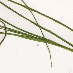 Leaves: Carex limosa. ~ By CONN Herbarium. ~ Copyright © 2020 CONN Herbarium. ~ Requests for image use not currently accepted by copyright holder ~ U. of Connecticut Herbarium - bgbaseserver.eeb.uconn.edu/