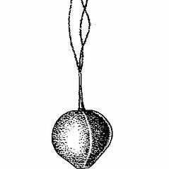 Achenes: Carex lucorum. ~ By Harry Creutzburg. ~ Copyright © 2020 The New York Botanical Garden. ~ http://www.copyright.com ~ Kenneth K. Mackenzie. North American Cariceae, Vols. 1 & 2. Copyright 1940 The New York Botanical Garden