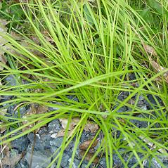 Plant form: Carex lucorum. ~ By Jill Weber. ~ Copyright © 2020 Jill Weber. ~ jillweber03[at]gmail.com